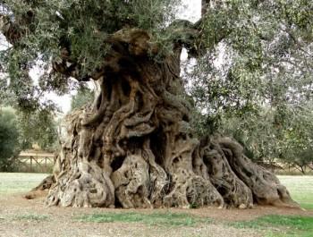 piante-ulivo-secolari-13-1-600x454